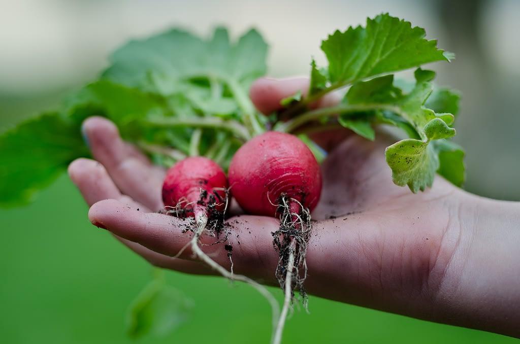 radish, hand, green