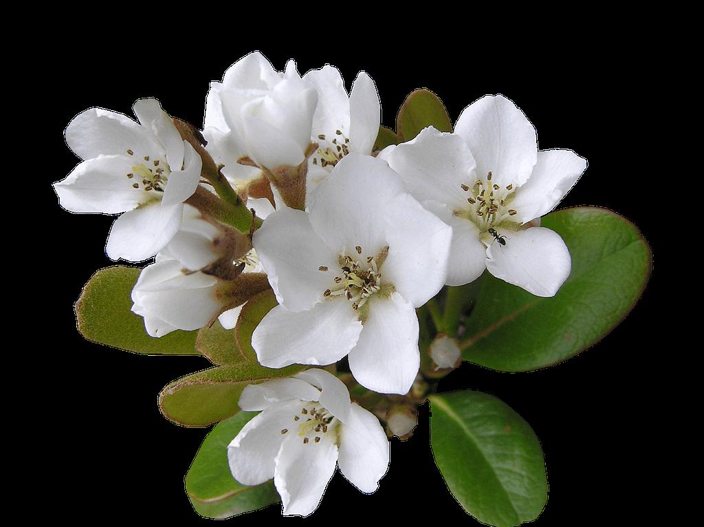 white, flower, indian hawthorn