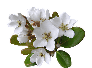 white, flower, indian hawthorn