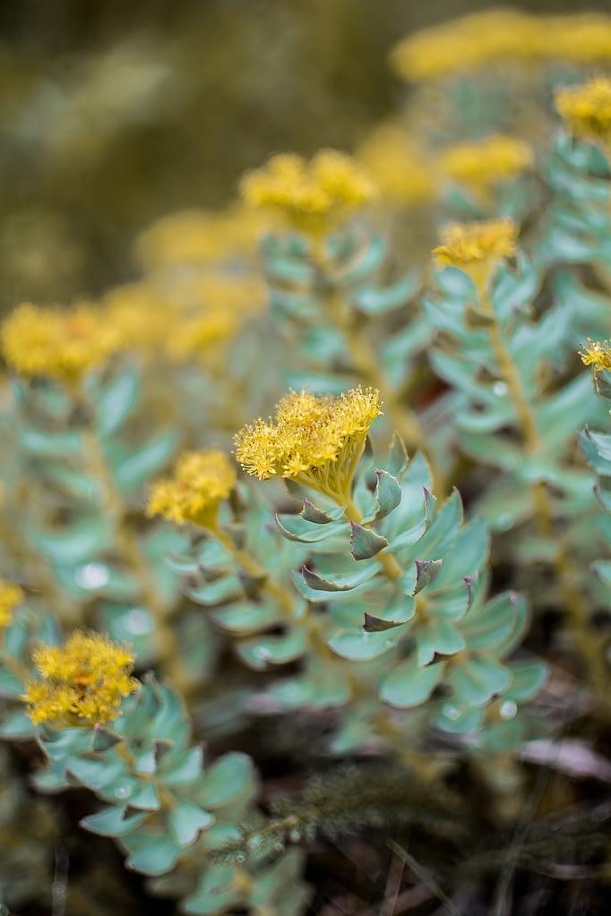 succulent, flowers, colors